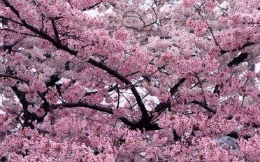 flor-de-cerezo2