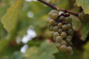 Understanding Wine Terminology: Botrytis or Noble Rot
