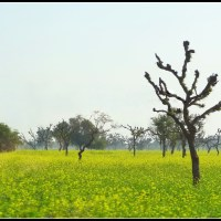 Mustard fields in the heartland of rural Rajasthan