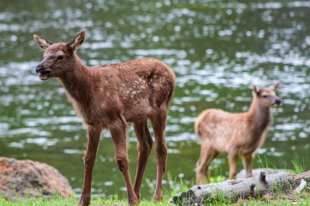 They still have their spots. Two young elk test their independence at the edge of the river in Yellowstone National Park