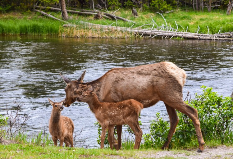 Young elk at rivers edge with their mother in Yellowstone National Park
