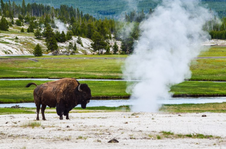 A lonely buffalo standing in a geyser basin with steam rising from the ground around him at Yellowstone National Park