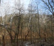 Near Sugar Creek were stands of Sycamores.