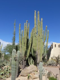 Giant Mexican Cardon, 75 years old!