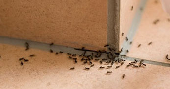 Ants at the corner of a tiled floor