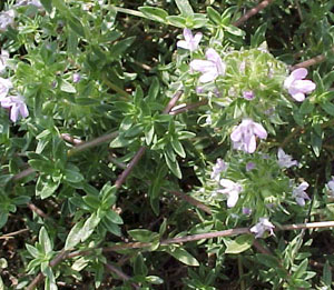 Caraway-scented thyme