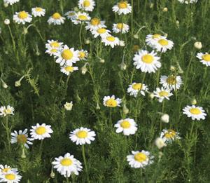 Garden chamomile