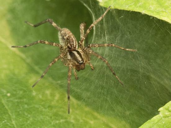 Photo of grass spider