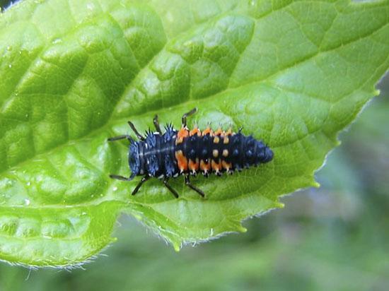 Juvenile ladybug (larva)