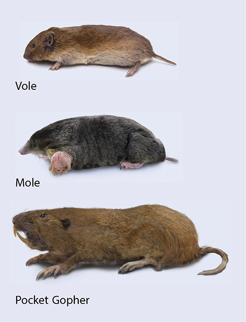 Photos of vole, mole, and pocket gopher.
