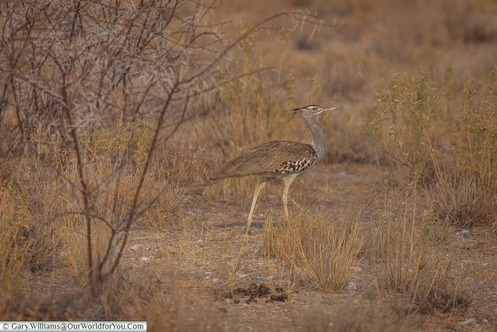 A kori bustard, Etosha, Namibia