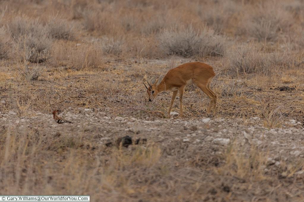 Kirk's dik-dik, Etosha, Namibia