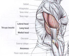 triceps anatomy
