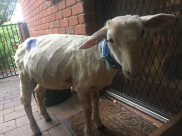 Lamby forlorn (800x600)