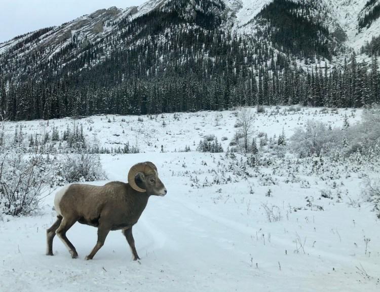 Bighorn sheep walking in Kananaskis