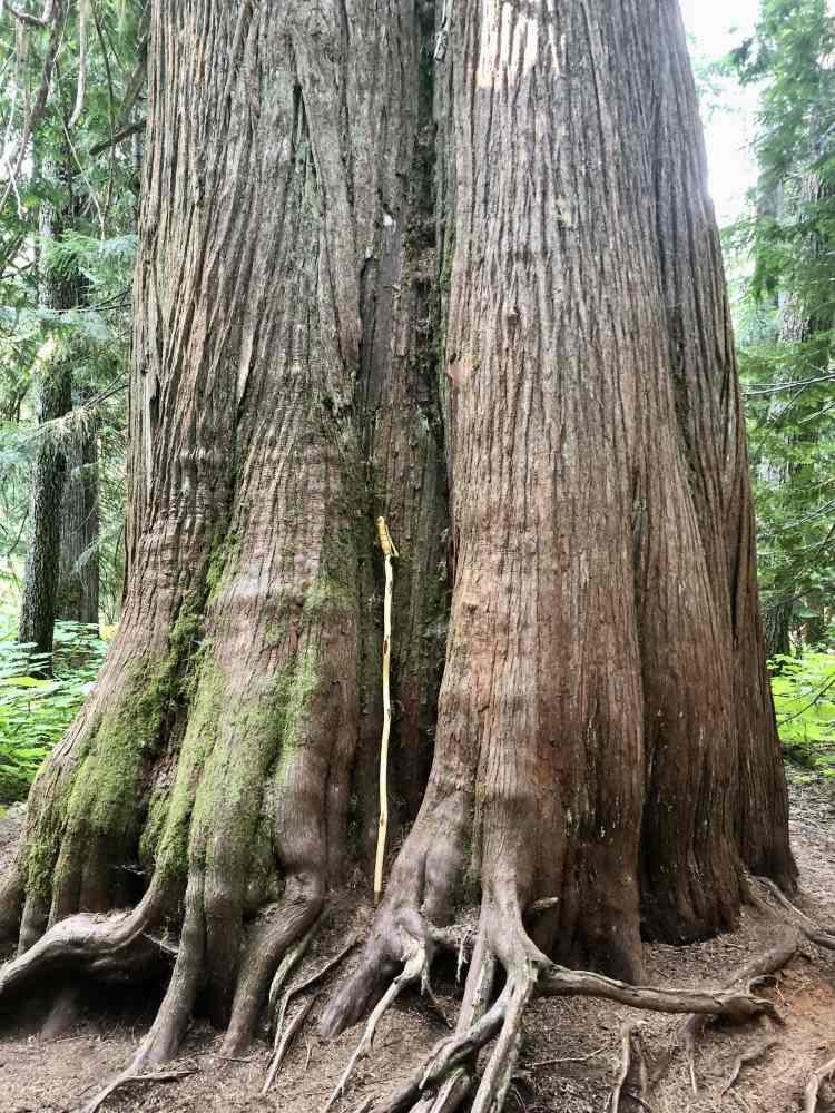 Massive trees on the Ancient Cedars Trail