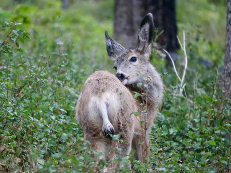Deer on Bear's Hump trail