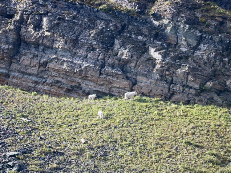 Goat Lake hike with mountain goats