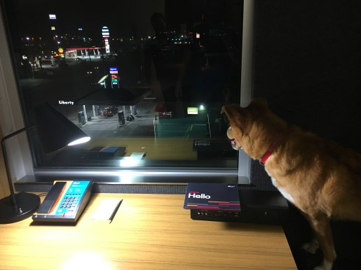 Fenwick at the Aloft hotel in Winchester, VA - he loves to look out the window!