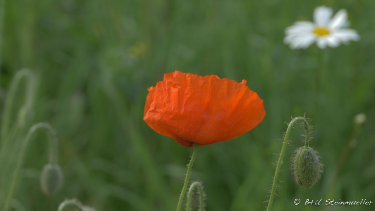 A vivid orange poppy in a green field.