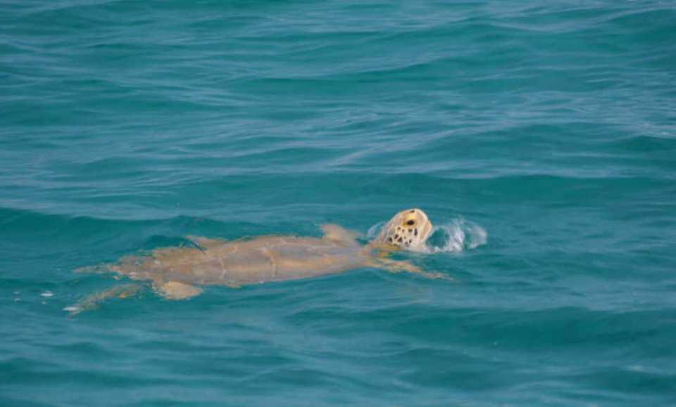 Turtle off Bimini