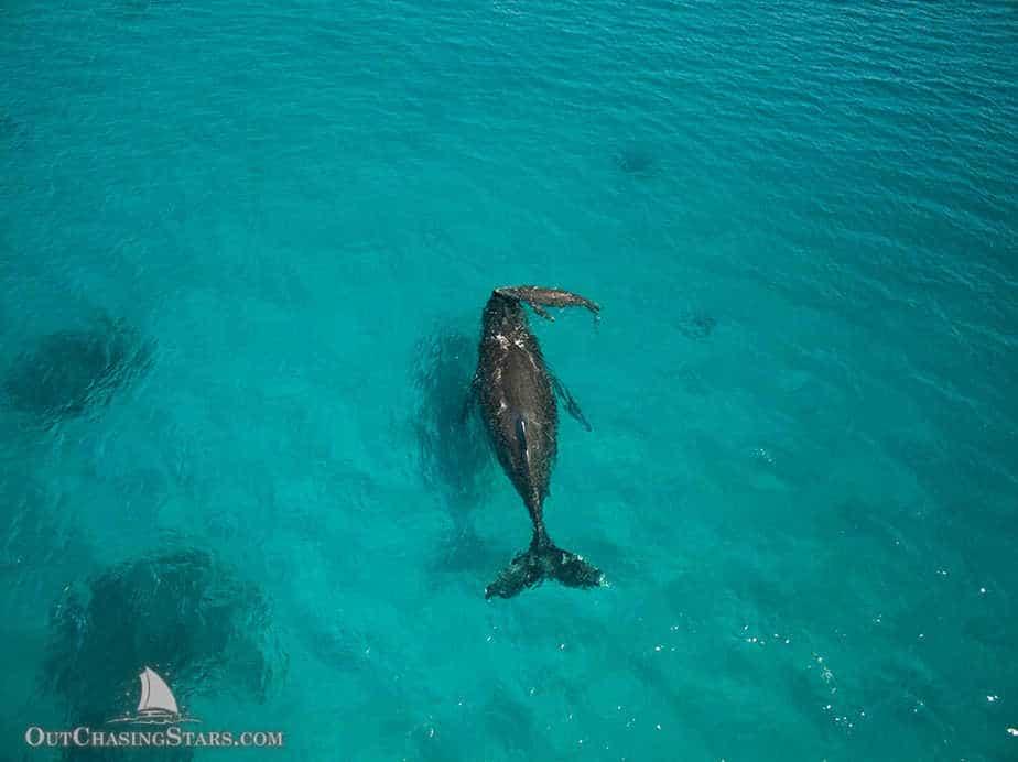 Baby humpback whale born in Ha'apai Tonga.