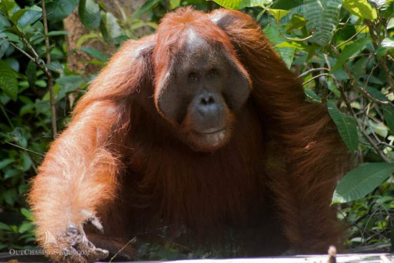 Orangutan Tour in Kalimantan, Indonesia