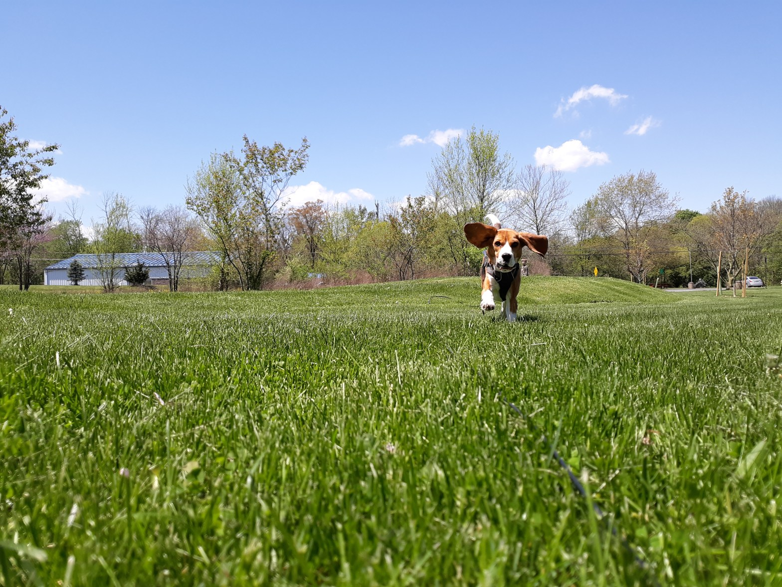 Beagle running in grass at a park