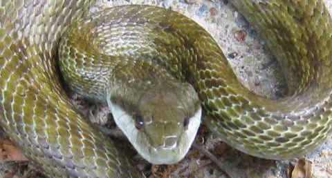 [B! 動物] 日本の蛇の種類 この8種だけマスターすれば大丈夫 ...