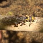 Stone fly
