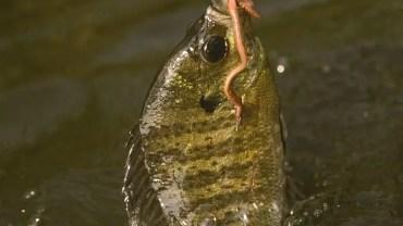 Bream Fishing Tips