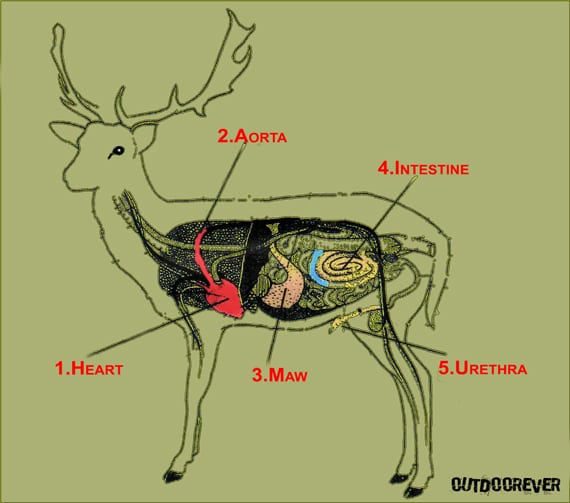 Major organ deer diagram trusted wiring diagram where to shoot a deer with a bow ultimate deer bow hunting guide rh outdoorever com deer vital organs whitetail deer vital organs ccuart Images