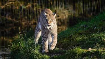 bobcat trapping tips tricks