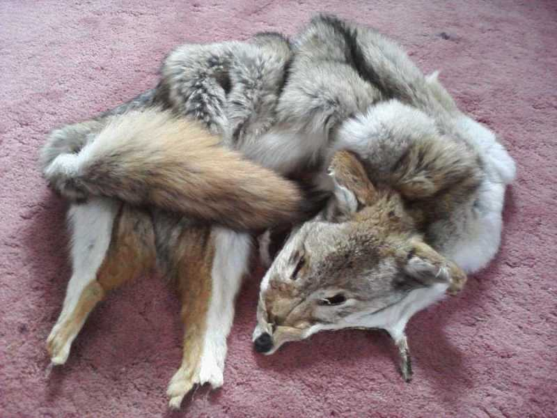 Tanning A Coyote Pelt