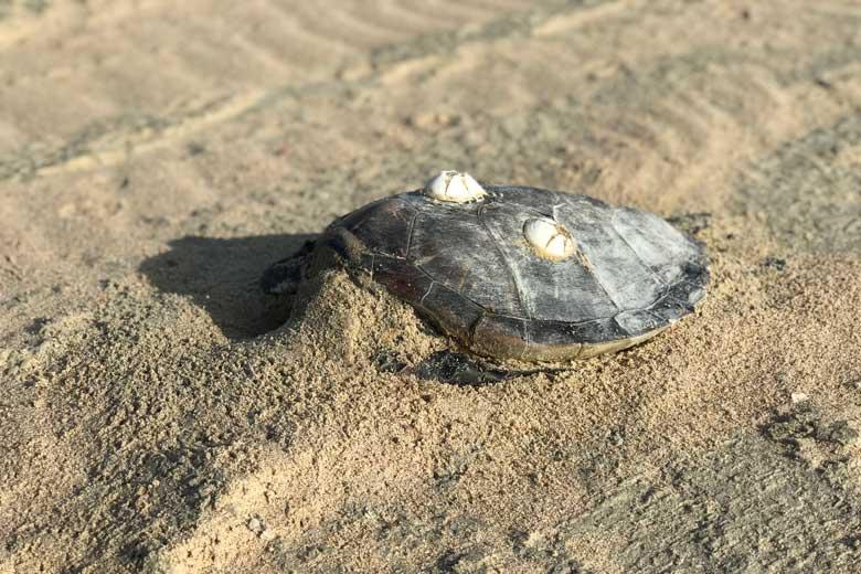 Op het strand liggen helaas ook dode schilpadden. Ouderdom en vervuiling….