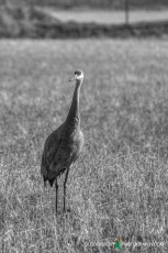 Sand hill Crane - WI