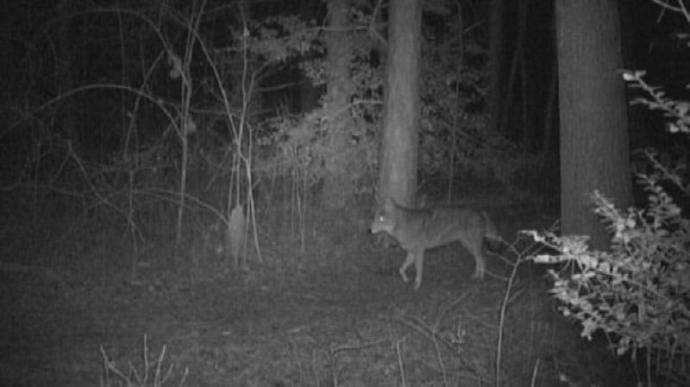 hunting-coyotes-at-night-1