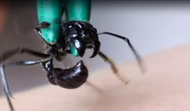 Stung By A Cow Killer Ants Ant Attack Animal