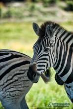 Zebra im Elephant Park in Knysna