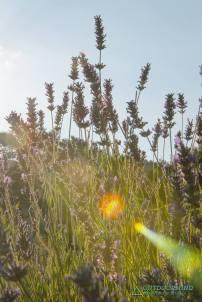 Morgensonne Lavendel