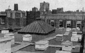 Bees on a roof in New York City, 1920's