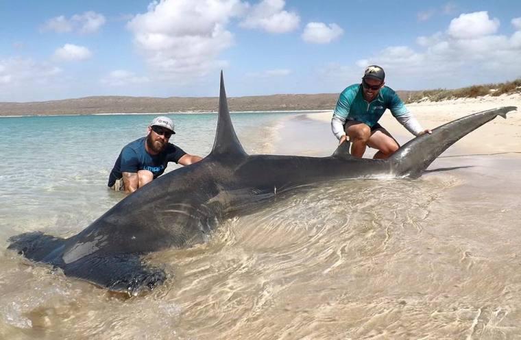 hammerhead-shark-rogue-offshore