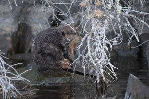 Beaver scratching itself