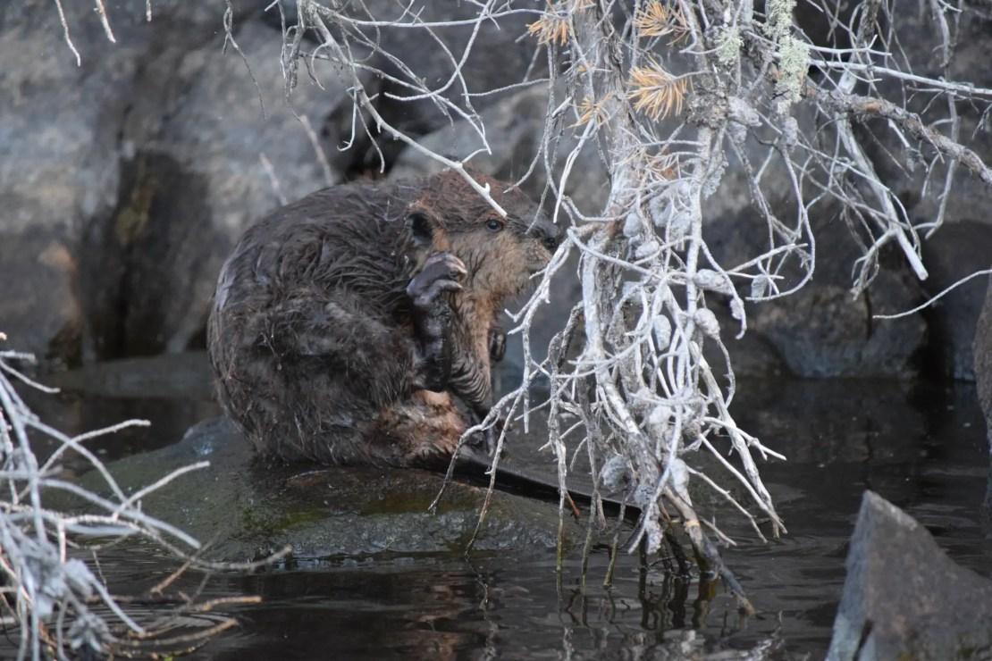 Beaver scratching itself