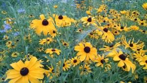 Black Eyed Susan Flowers on Trail