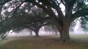Live Oak Louisiana