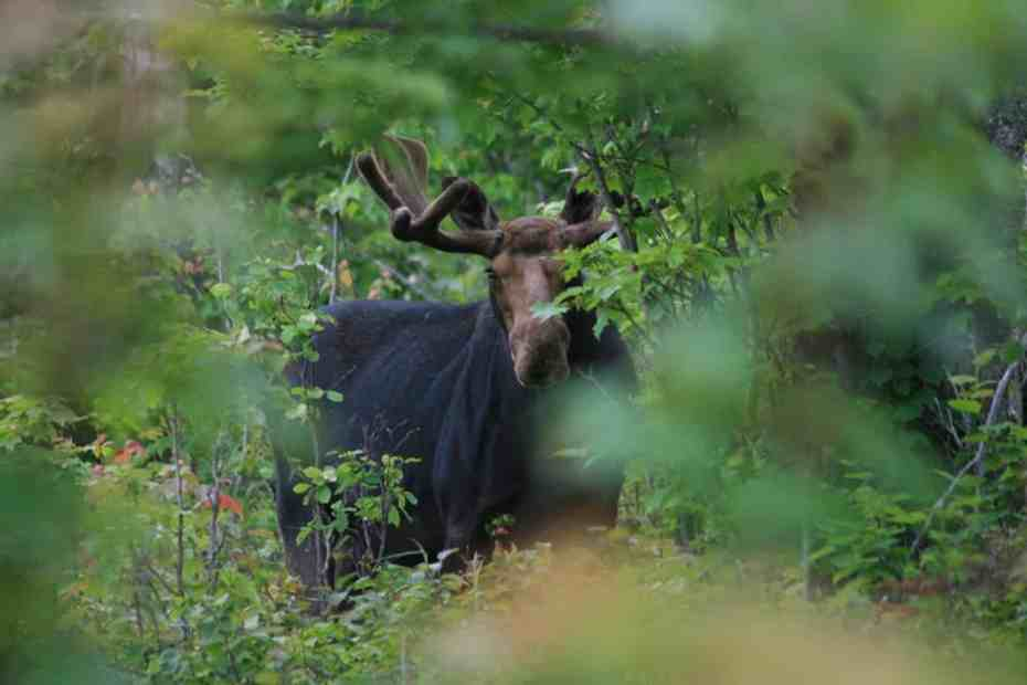 Bull Moose on Isle Royale