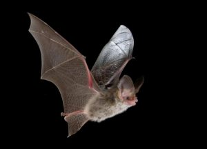 A lesser long eared bat.