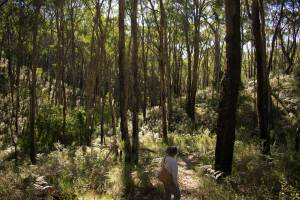Stringybark forest on the trail below Crafers