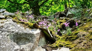 Pfingstnelken im Naturpark Kellerwald